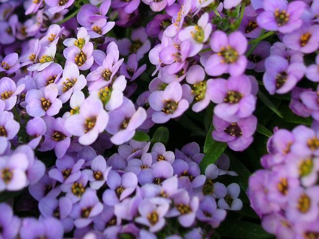 500 Seeds Alyssum Wonderland Lavender
