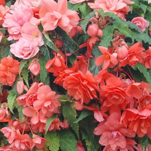 Begonia F1 Illumination Salmon Pink Hanging Basket Type 20 Seeds