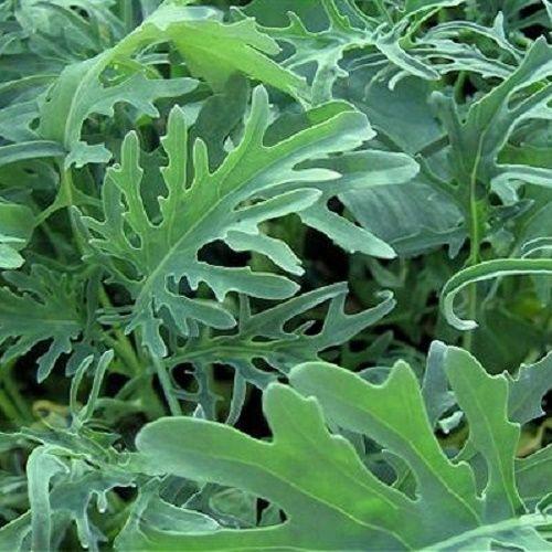 Borecole Jagello Nero - 300 seeds