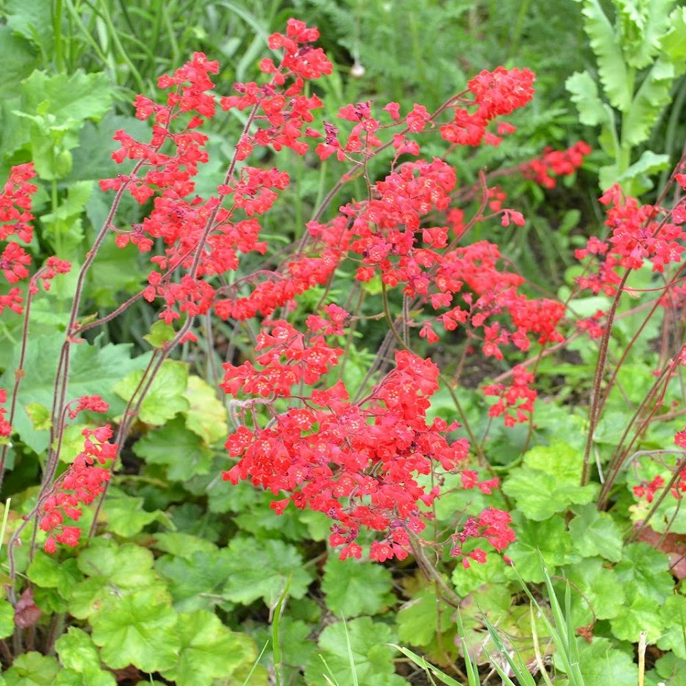 Picture of Live Coral Bells (Red) aka Heuchera splendens 'Firefly' Plant Fit 1 Gallon Pot