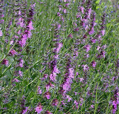 HYSSOP (Hyssopus officinalis) Pink Appx 200 seeds