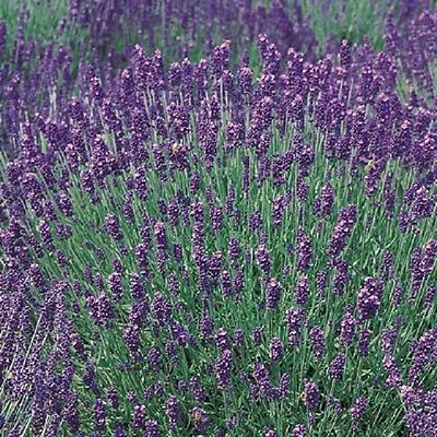 Lavender Hidcote Blue Approx 200 seeds