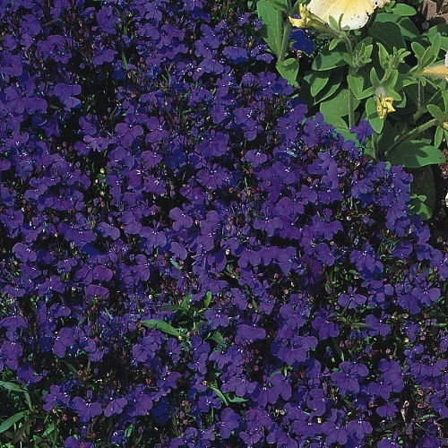 Lobelia Crystal Palace Appx 5000 Seeds Annual