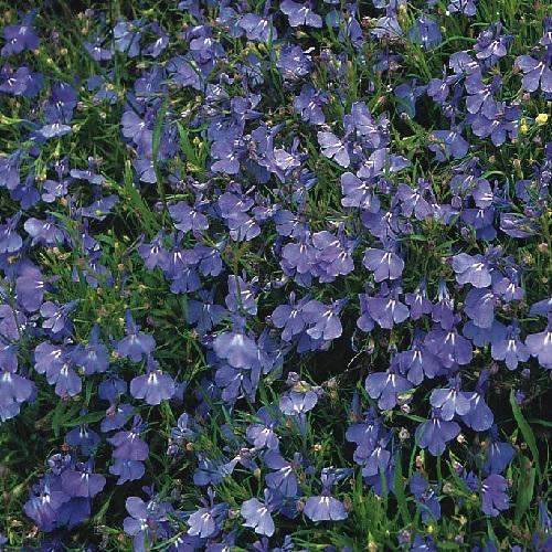 Lobelia Erinus Compacta Cambridge Blue 1500 Seeds 5000 Seeds