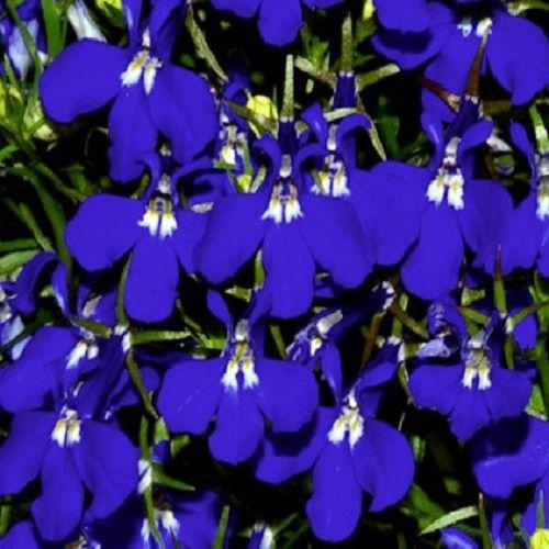 Lobelia Riviera Blue Eyes Appx 3000 Seeds