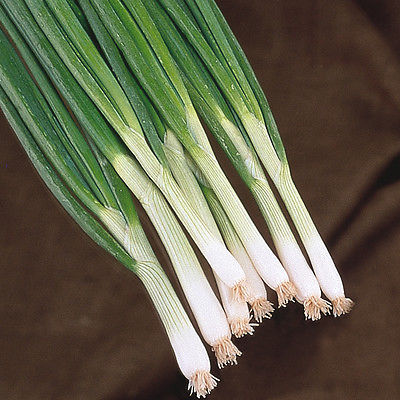 Onion Eiffel - Salad / Spring Onion - Allium cepa Appx 1000 seeds