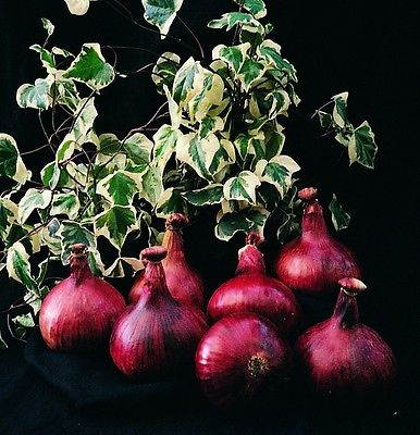 Onion Mammoth Red 100 seeds