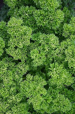 Parsley - Champion Moss curled - Appx 2000 seeds - Vegetable