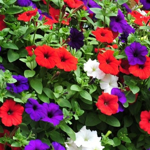 Muted Blue And Floral Red: Petunia-express-red-white-and-blue-mix-50-pelleted-seeds