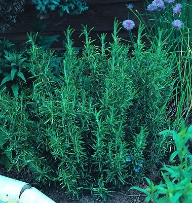Rosemary - Rosmarinus Officinalis Appx 280 seeds - Herbs