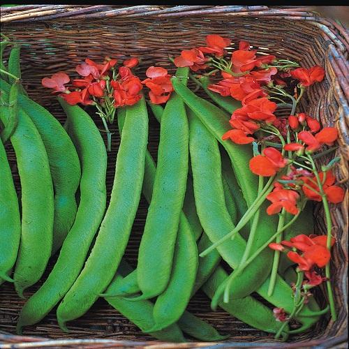 Runner Bean Lady Di Early Stringless 50 Seeds 6575 P Jpg