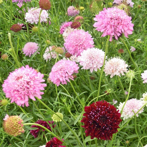 Scabious Crown Tall Mixed 100 Seeds