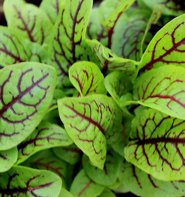 Sorrel - Red Veined Min 1800 seeds - Vegetable
