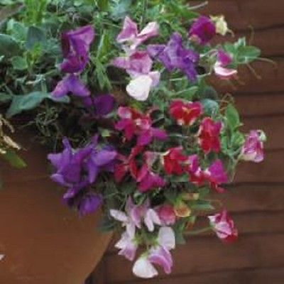 Sweet Pea - Cupid Mix - 20 seeds Basket type